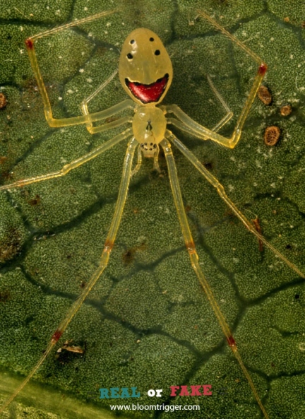 Happy Face Spider Real or Fake