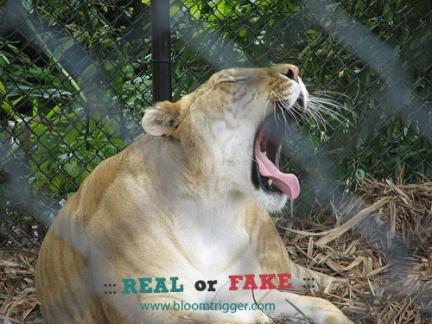 Liger real or fake
