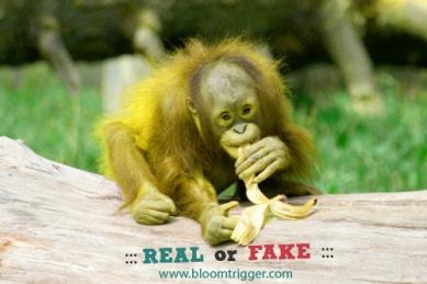 Little orangutan real or fake