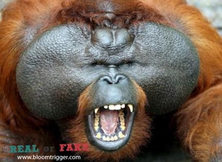 Sumatran Orangutan real or fake