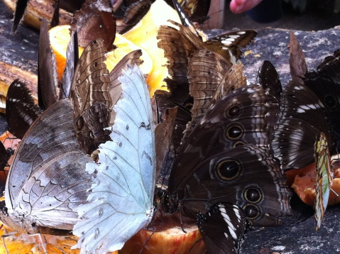 Feeding Butterflies, multiple species