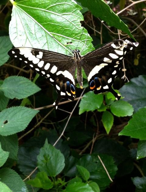 Lime Swallowtail Papilio demoleus